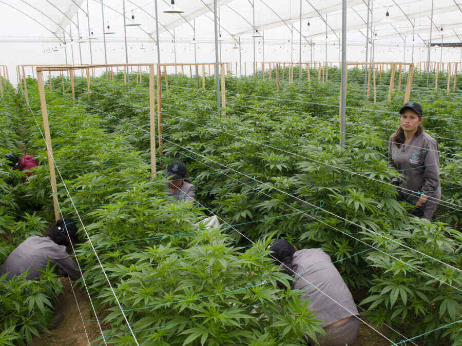 Colombia plans to export $6 billion worth of cannabis a year